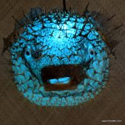 Extra Large Puffer Fish Lamp Blue 2